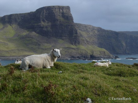 Sheep at rest on Neist Point, Isle of Skye.